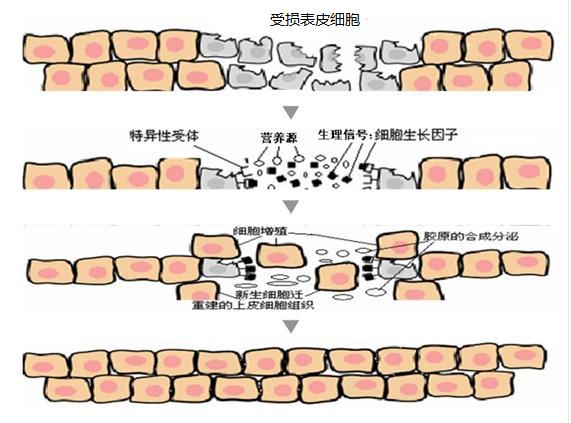 护肤品中生长因子的作用